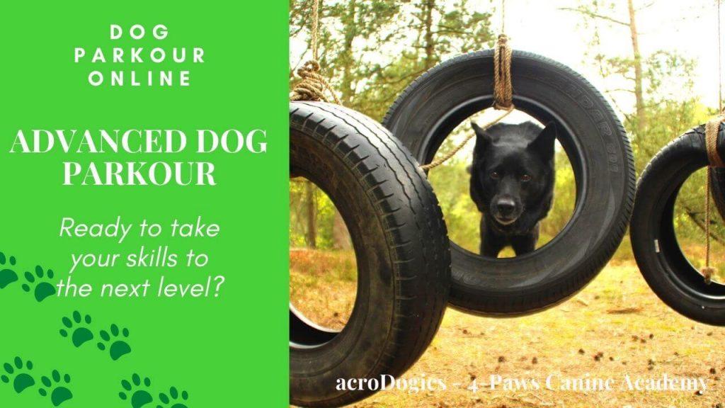 advanced dog parkour. dog jumps through tyre